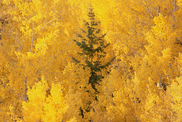 Elevated view over the tops of the aspen trees in the Dixie National Forest in autumn.