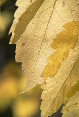 Close up of a cottonwood leaf in the Wasatch mountains in Utah. Yellow autumn foliage.