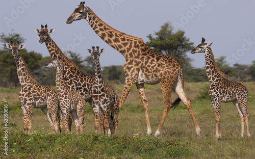 A small group of Masai giraffe in Serengeti National Park, Tanzania
