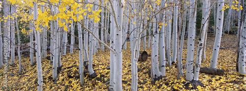 The Dixie national forest with aspen trees in autumn. White bark and yellow foliage on the branches and fallen to the ground.