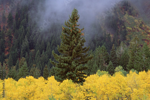 A forest of trees in the Wasatch mountains, with striking yellow autumn foliage. Green pine trees. Low clouds.