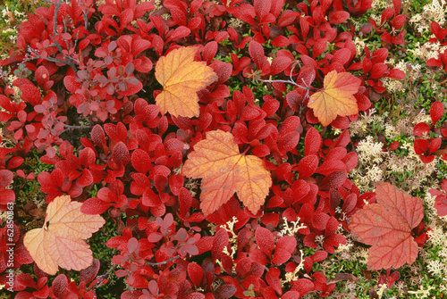 View from above of the bear berry plant, with small red leaves, and fallen maple leaves. Tundra plants in the autumn.