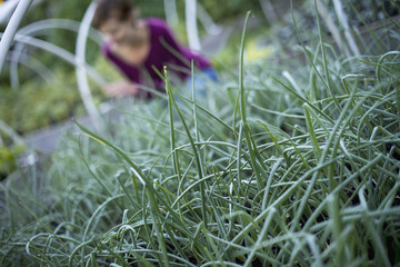 A farmer working among chive herb plants in an organic garden or plant nursery.