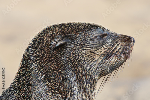 The head of a cape fur seal, Arctocephalus pusillus, at the beach on Cape Cross, National West Coast Recreation Area, Namibia
