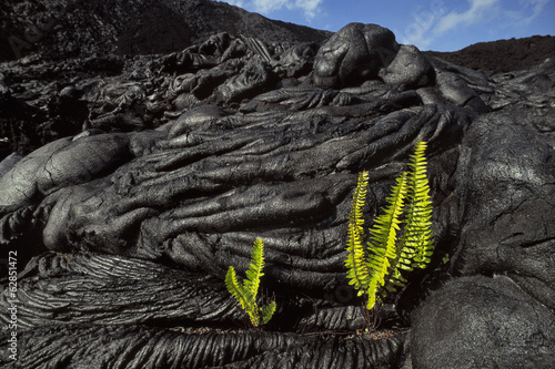 Ama'u ferns sprouting in cooled lava cracks, Sadleria cyatheoides, Hawaii Volcanoes National Park, Hawaii