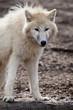 Arctic white wolf