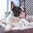 French bulldog lying on bed