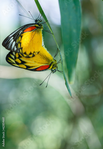 Mating Pair of Red-spot Jezebel, Butterfly
