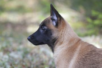 Belgian Shepherd Malinois