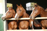 Nice thoroughbred foals in the stable - 62855453