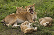 Lion and cubs resting and relaxing in the Serengeti National Park, Tanzania