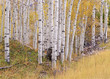 Aspen trees in autumn with white bark and yellow leaves. Yellow grasses of the understorey. Wasatch National forest in Utah.