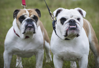 Two white and fawn English Bulldogs on leads looking upwards.