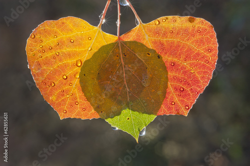 Three aspen leaves with the light shining through them. Brown and green autumn colours.