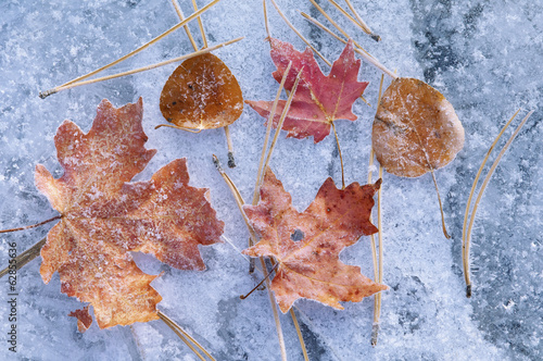 Maple and aspen leaves in autumn. Brown and red leaf colour. Laid out on a frosted ice surface.