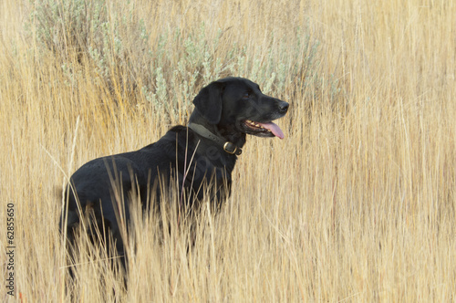 A black Labrador retriever dog standing in  the long grass.