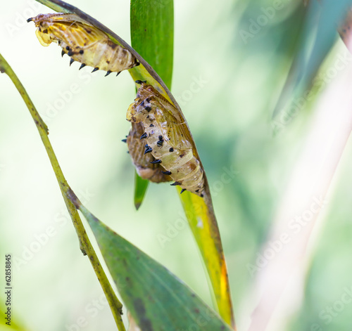 empty chrysalis of butterfly hanging on branch