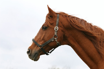 Thoroughbred head portrait. Beautiful horse headshot