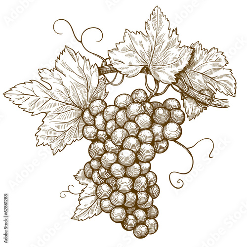 engraving grapes on the branch on white background - 62861288