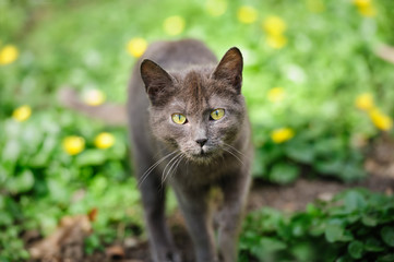 stray grey kitten