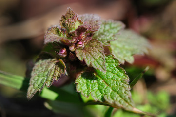 macro small nettle sprout with flowers