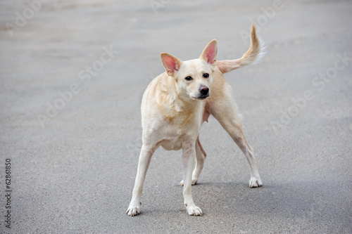 White stray dog
