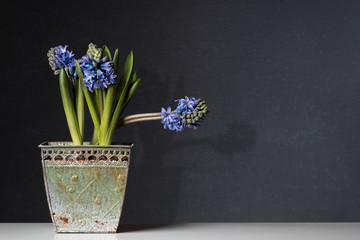 blue Hyacinths in a old Pot on Table
