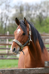 Head shot of a beautiful bay horse in the pinfold
