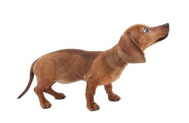 Dachshund puppy isolated on white background