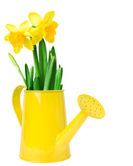 Narcissus flower arrangement in a yellow watering can,