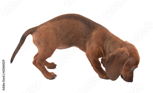 Dachshund puppy isolated on white background
