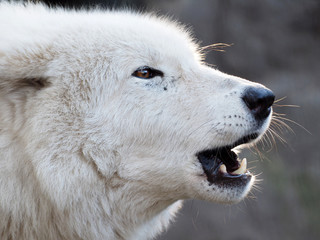 Howling white Hudson Bay Wolf