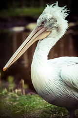 A Pelican Sitting on the grass.