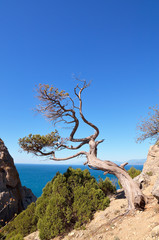 Dry tree on a rock