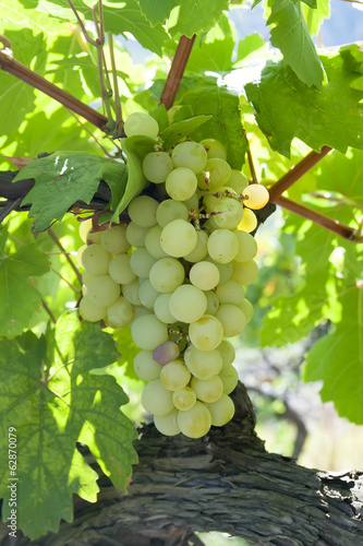 brush ripe grapes on solar plantations