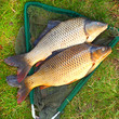 The Common Carp on a fish net.