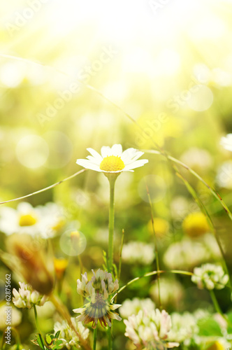 Foto op Canvas Madeliefjes Wild camomile flowers