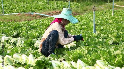 Harvesting vegetable