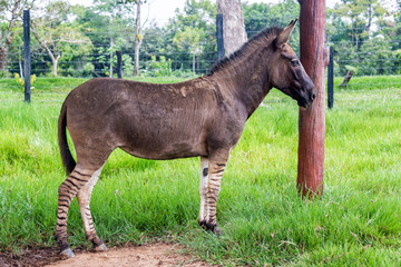 Zonkey, Half Zebra Half Donkey