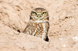 Burrowing Owl sitting in the nest hole