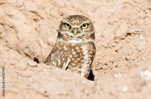 Deurstickers Uil Burrowing Owl sitting in the nest hole