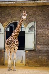 Nice giraffe