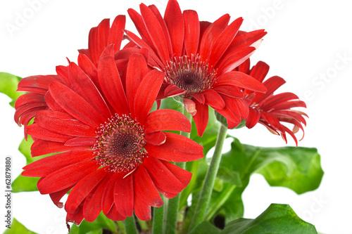 Foto op Canvas Madeliefjes Red gerbera daisy flower