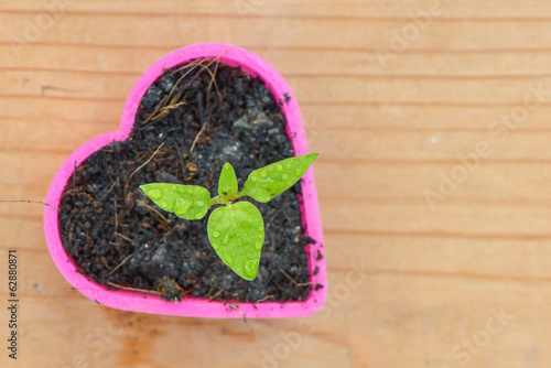 seedling chili in heart