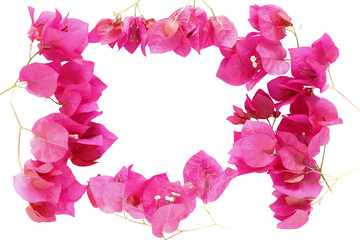 Bougainvillea flower frame isolated on white background