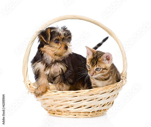 bengal kitten and Yorkshire Terrier puppy sitting in basket.