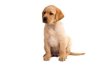 labrador puppy isolated
