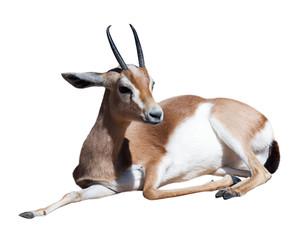 Gazelle Saharian dorcas.  Isolated over white