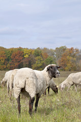 Sheep on autumn color meadow