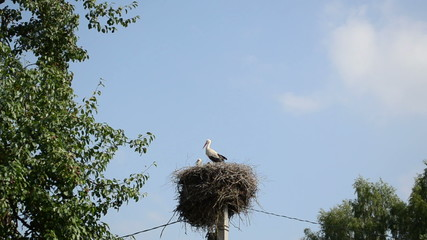 stork family resting switch nest on electricity poles